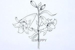 нарисовать пошагово цветок африканской лилии карандашом, рисунок  африканской лилии, контурный рисунок,  черно-белый