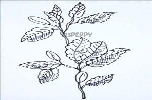 нарисовать пошагово листья бука карандашом, рисунок  листьев бука, контурный рисунок,  черно-белый
