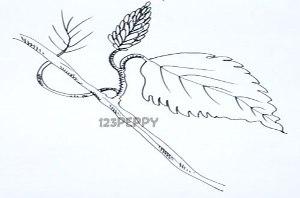 нарисовать пошагово ветку с листом карандашом, рисунок  ветки с листом, контурный рисунок,  черно-белый