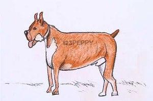 нарисовать пошагово собаку боксёра карандашом, рисунок  собаки боксёра, контурный рисунок,  цветной