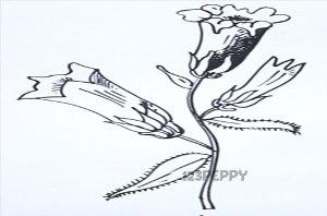нарисовать пошагово цветок колокольчик карандашом, рисунок  цветка колокольчик, контурный рисунок,  черно-белый