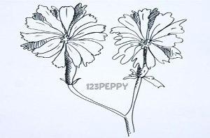 нарисовать пошагово цикорий карандашом, рисунок  цикория, контурный рисунок,  черно-белый