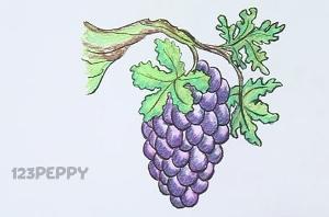 нарисовать пошагово виноград карандашом, рисунок  винограда, контурный рисунок,  цветной