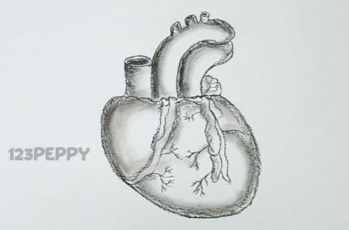 нарисовать пошагово сердце человека карандашом, рисунок  человеческого сердца, контурный рисунок,  черно- белый