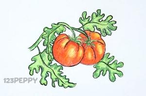 нарисовать пошагово помидоры на ветке карандашом, рисунок  помидоров но ветке, контурный рисунок,  цветной