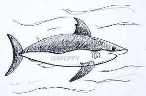 нарисовать пошагово страшную акулу карандашом, рисунок  страшной акулы, контурный рисунок,  черно-белый
