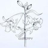 цветок африканской лилии