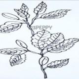 листья бука