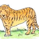 Как нарисовать бенгальского тигра