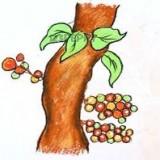 плоды смоковницы