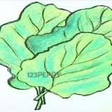 листовую капусту