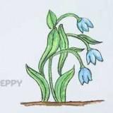 цветы крокус