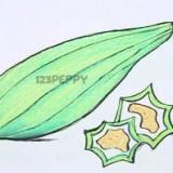 горную тыкву